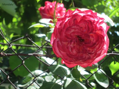 Rose bulgare